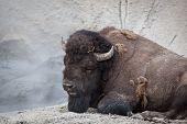 Large Resting Bison