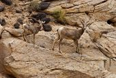 Female Desert Bighorn Sheep With Lamb Capitol Reef National Park