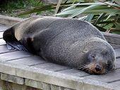Fur Seal Sleeping on the Boardwalk, New Zealand