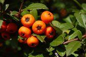 Frutos silvestres alemãs