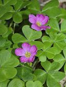 picture of redwood forest  - Redwood Sorrel - Oxalis oregana form smalliana Native to moist Douglas-fir and coast redwood forests of western North America - JPG