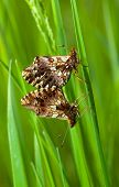 stock photo of animals sex reproduction  - Macro of matting butterfly on grass blade over green meadow background - JPG