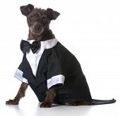 picture of dog clothes  - formal dog  - JPG