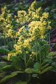 stock photo of cowslip  - blooming primula on mountain meadow in middle europe - JPG