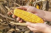 stock photo of corn  - Farmer holding corn cob in hand in corn field - JPG
