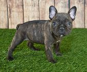 foto of french bulldog puppy  - Very cute little French Bulldog puppy standing in the grass with a wooden fence behind her - JPG