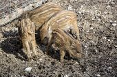 foto of piglet  - Four wild young piglets play on a field - JPG
