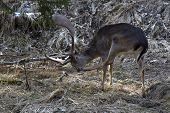 picture of bambi  - Portrait of a brown buck deer in the forest - JPG