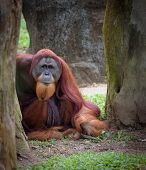 pic of wise  - Old wise orangutan sitting on the ground looking straight to camera - JPG