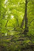 foto of swamps  - Magical summer swamp deep in the forest with leaning oak trees creating tunnel