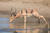 picture of ram  - Impala ram drink water from a pond with risk of crocodile - JPG