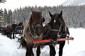 image of carriage horse  - horses equipped with carriages providing rides to visitors during the winter with lots of snow - JPG