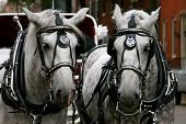 pic of workhorses  - this picture of a horse drawn carriage was taken outside of a church on a wedding day.