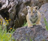 foto of tiger cub  - Tiger cub gray rocks with yellow flowers