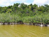 Everglades Mangroves