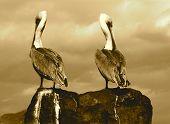 Pelicans On Rock