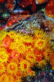 Orange Cup Coral Tubastrea coccinea and Scallop