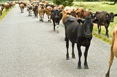 Cattle Drive On A Road