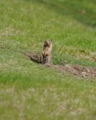 Curious gopher