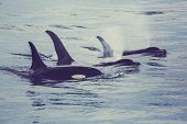 Orca (Killer Whale) in Alaska poster