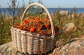 Sea Buckthorn Berries On Branches In Wicker Basket. Hippophae Or Sea Buckthorn Berries On Blue Water poster