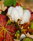 stock photo of boll  - Close up of cotton boll on plant - JPG