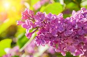 Spring Background With Lilac Flowers. Blooming Spring Lilac Flowers, Selective Focus At The Central  poster