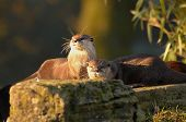 Otters At Sunset (Amblonyx Cinereus)