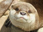 Otter Close-Up (Amblonyx Cinereus)
