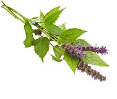fresh peppermint herb Isolated and flowers