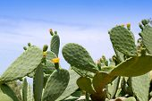 stock photo of spiky plants  - chumbera nopal cactus plant under mediterranean blue sky in Majorca - JPG