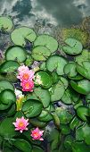 Water Lily Lotus (nelumbo Nucifera). Pink Water Lily Or Lotus And Sky On Lake Surface. Water Lily Ol poster