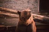 Brown Bear Portrait. Brown Bear Sitting On Wooden Floor In Zoo. Big Brown Bear (ursus Arctos) Sittin poster