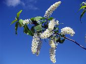 Bird Cherry Native To Northern Europe And Northern Asia. Closeup Of Bird Cherry, Brightly Backlit Ag poster