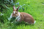 Rabbit Sitting On Meadow And Eating Leaf. Close Up Bunny Eating Rabbit On The Green Background. Red  poster