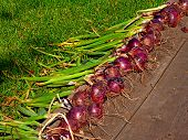 Harvest Of Red Onion On Wooden Floor Background And Grass. Lot Of Colorful Violet Onion And Tops Har poster