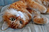 Lazy Red Cute Cat Basking In The Bed. Playful Ginger Adorable Kitten Lying On Sofa At Home And Resti poster