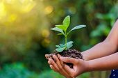 In The Hands Of Trees Growing Seedlings. Bokeh Green Background Female Hand Holding Tree On Nature F poster