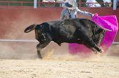 Fighting bull picture from Spain. Black bull
