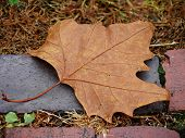 Fallen Maple Leaf Brown Maple Leaf Fallen To The Ground On Top Of A Brick Pathway poster