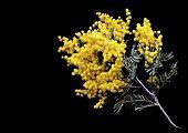 The wattle or Acacia Pycnantha