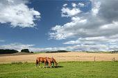 dänische Pferde