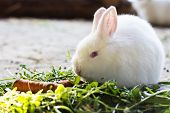 picture of rabbit hutch  - white little rabbit eating grass and carrots - JPG