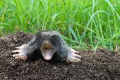 Mole And Molehill On Garden