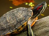 Curious Fresh Water Turtle