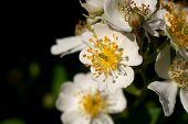 Shrubby Cinquefoil flower