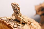 stock photo of omnivores  - Bearded Dragon Sitting on Wooden Log for pet and reptile concepts