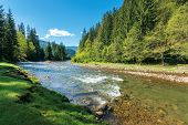 Rapid Mountain River In Spruce Forest. Wonderful Sunny Morning In Springtime. Grassy River Bank And  poster