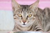 Cute Tabby Cat With Blue Eyes And Long Whiskers Looks At Camera With A Sweet Expression. Close-up Po poster