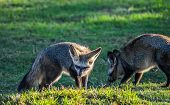 Bat Eared Fox Roaming Freely In A Johannesburg Nature Reserve South Africa poster